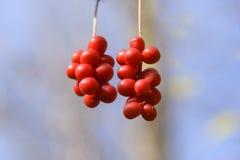 Brush fruit Schizandra . Stock Image