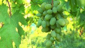 Brush of green grapes stock footage