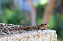 Brush Lizard. Arizona Brush Lizard on wall, with trees background Stock Photography