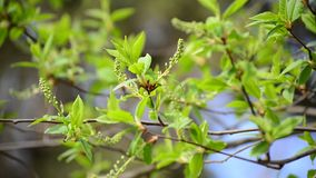 Brush is not full-blown bird cherry in the early spring. Brush is not a full-blown bird cherry in the early spring stock video footage