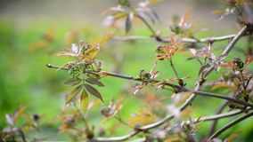 Brush is not full-blown  elderberries in the early spring stock video