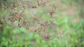 Brush is not full-blown  elderberries in the early spring stock video footage