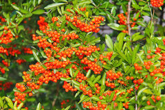 Brush of red berries pyracantha Stock Image