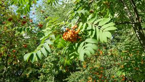 A brush of red mountain ash with green leaves is waving from the wind. stock video