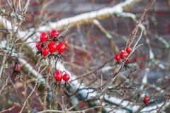 Brush of rose berry under snowdrifts stock photo