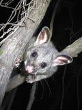 Brush tail possum Royalty Free Stock Image