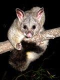 Brush tail possum Royalty Free Stock Photo
