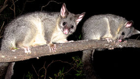 Brush tail possum Royalty Free Stock Images