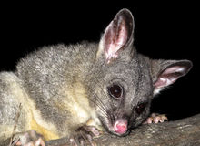 Brush tail possum Royalty Free Stock Photo