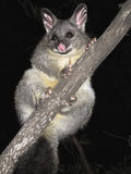 Brush tail possum Stock Photos