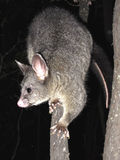 Brush tail possum Stock Photography