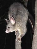 Brush tail possum Stock Photography