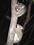 Brush tail possum Royalty Free Stock Photos