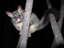 Brush tail possum Stock Photo