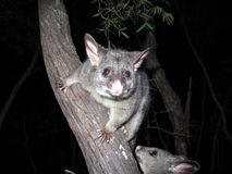 Brush tail possum Royalty Free Stock Image