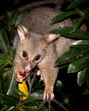 Brush-tail possum Stock Photography
