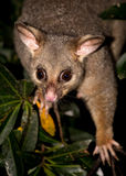 Brush-tail possum Royalty Free Stock Images