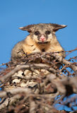 Brush tail possum in tree Royalty Free Stock Photography