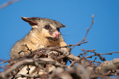 Brush tail possum in tree Stock Image