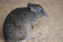 Brush-tailed bettong. The detail of brush-tailed bettong Royalty Free Stock Images