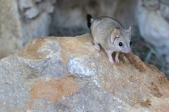 Brush-tailed marsupial rat. On the rock Stock Images