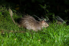Brush-tailed Porcupine (Atherurus macrourus) Royalty Free Stock Images