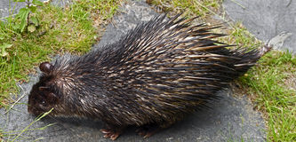 Brush-tailed porcupine 1 Stock Image