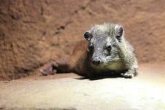 Brush-tailed porcupine Royalty Free Stock Image