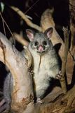 The brush-tailed possum in Australia looking with interest in the night from the tree. stock photos