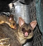 Brush-tailed possum with baby Stock Photo