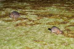Brush tailed possum raccoon and wallaby in Kangaroo Island Stock Images