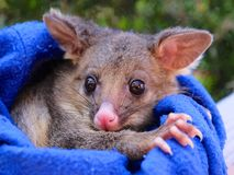 Brush tailed possum rescued. Orphan Royalty Free Stock Image