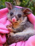 Brush tailed possum rescued. Orphan Stock Photos