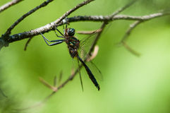 Brush-tipped Emerald. Perched on a branch royalty free stock photography