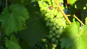 Brush unripe grapes. Among leaves stock video footage