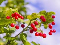 Brush viburnum berries Stock Photography