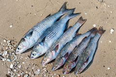 Brushed fish ready for cooking on a damp sand Stock Photography