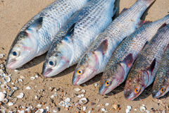 Brushed fish ready for cooking on a damp sand Royalty Free Stock Photography