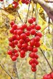 Brushes of ripe berries Schisandra chinensis. Hanging brushes of ripe berries Schisandra chinensis royalty free stock image