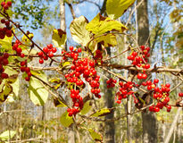 Brushes of ripe berries Schisandra chinensis Stock Photos