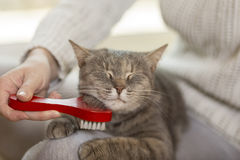 Brushing a cat Stock Image