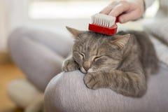 Brushing the cat Stock Photos