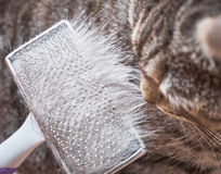 Brushing cat's fur Stock Image
