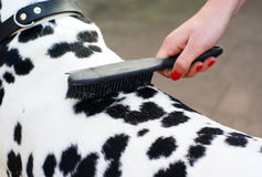 Brushing the dog. stock images