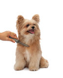Brushing Dog Fur. Brushing mixed breed dog fur isolated in white background with clipping path Royalty Free Stock Image