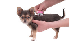 Brushing a dog isolated on white background Royalty Free Stock Photos
