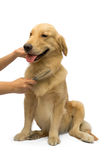 Brushing Golden Retriever Stock Photo