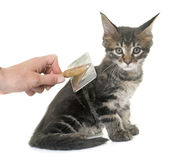 Brushing maine coon kitten Stock Images
