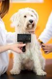 Brushing Maltese dog in vet clinic. Brushing and care of beautiful Maltese dog in vet clinic Stock Image