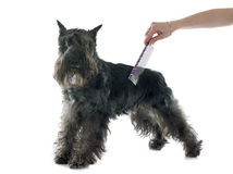 Brushing the miniature schnauzer. Grooming of miniature schnauzer in front of white background stock photo